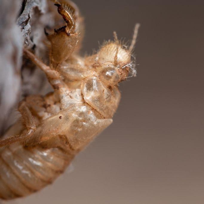 """Forscher warnen vor Insektenplage """"Brood X"""" (Foto)"""