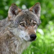Forscher warnen: Wolf bedroht uns Menschen! (Foto)