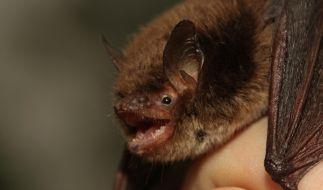 Entdeckt wurde das Virus Australien Bat Lyssavirus in Fledermäusen. (Foto)