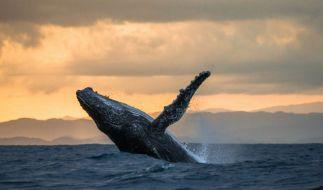 Ein Mann wäre fast von einem Wal verschlungen worden. (Foto)