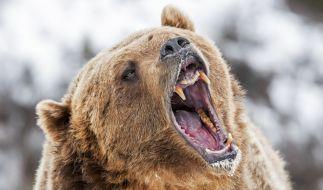 Ein Reiseleiter wurde im Yellowstone Nationalpark von einem Bären attackiert. (Foto)