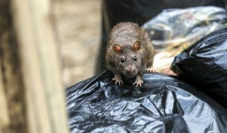 Droht dem Vereinigten Königreich eine regelrechte Ratten-Invasion? (Foto)