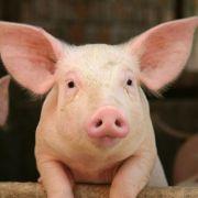 Versuchte Vergewaltigung! Penis abgeschnitten und an Schweine verfüttert (Foto)