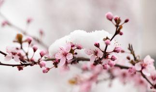 Die Blüten eines Baumes sind mit Schnee bedeckt. (Foto)