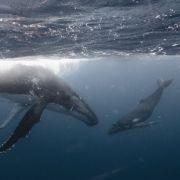 Wal-Junges verirrt sich in Themse - und muss eingeschläfert werden (Foto)