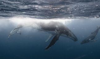 Ein Baby-Wal konnte nach Stunden des Bangens aus der Themse gerettet werden (Foto)
