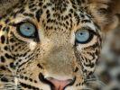 """""""Sambia - Königreich der Leopardin"""""""