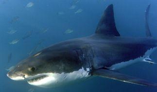Der Hai hat den Surfer in den Oberschenkel gebissen. Er hatte keine Chance. (Foto)