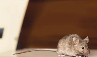 In Australien breitet sich eine Mäuse-Plage aus. (Foto)