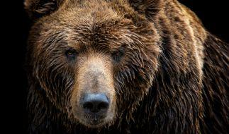Mit diesem Angriff hatte der Bär nicht gerechnet. (Foto)