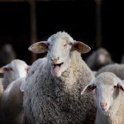 Temperatursturz oder Hitzewelle: Fällt die Schafskälte dieses Jahr aus? (Foto)