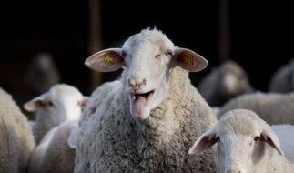 Droht uns in diesem Jahr die Schafskälte? (Foto)