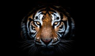 Der Tiger-Angriff auf Christian Walliser bleibt unvergessen. (Foto)