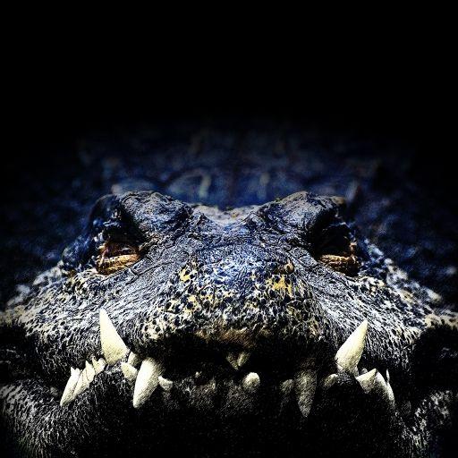 Krokodil zerfleischt britische Touristin -Frau im Koma (Foto)