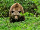 Ein 57-jähriger Mann ist in der Slowakei infolge einer Bärenattacke gestorben (Symbolbild). (Foto)
