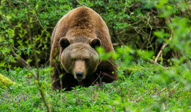 Tödliche Bären-Attacke in der Slowakei
