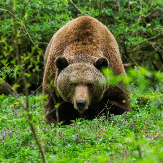 Leichenfund im Wald! Mann (57) von Braunbär zerfleischt (Foto)