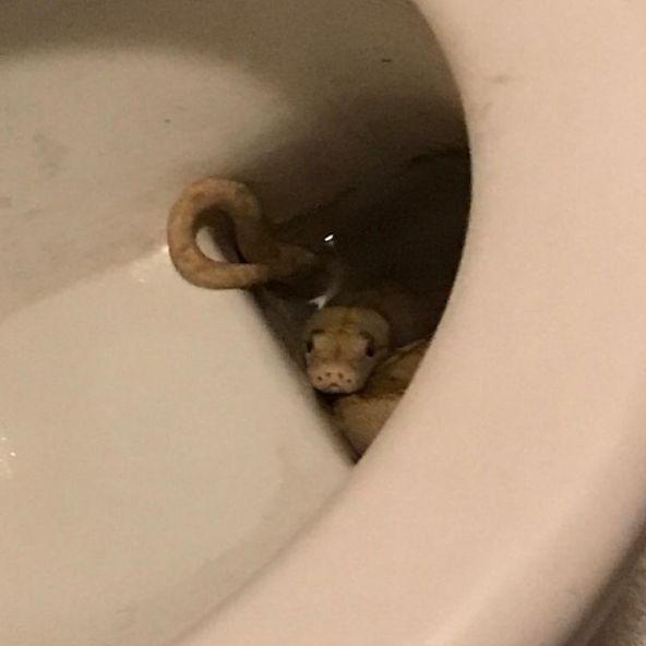 Autsch! Python beißt Mann auf Toilette in Genitalien (Foto)