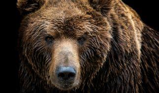 Ein Grizzly hat eine Camperin zerfetzt. (Foto)