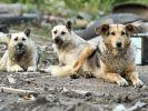 Eine Meute verwilderter Straßenhunde hat einen Mann in Indien zu Tode zerfleischt (Symbolbild). (Foto)