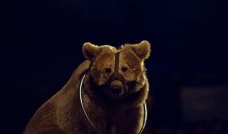 In Russland hat ein Zirkus-Bär seine Trainiern angegriffen. (Foto)