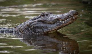 In Florida wurde ein Radfahrer von einem Alligator schwer verletzt. (Foto)
