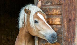 In einem Reitstall in Massachusetts vergewaltigte ein Sextäter ein Pferd. (Foto)