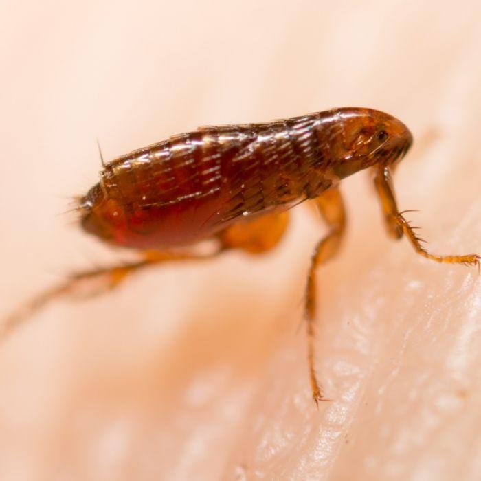 Übertragen durch Flöhe! Mädchen (10) nach Pest-Infektion gestorben (Foto)