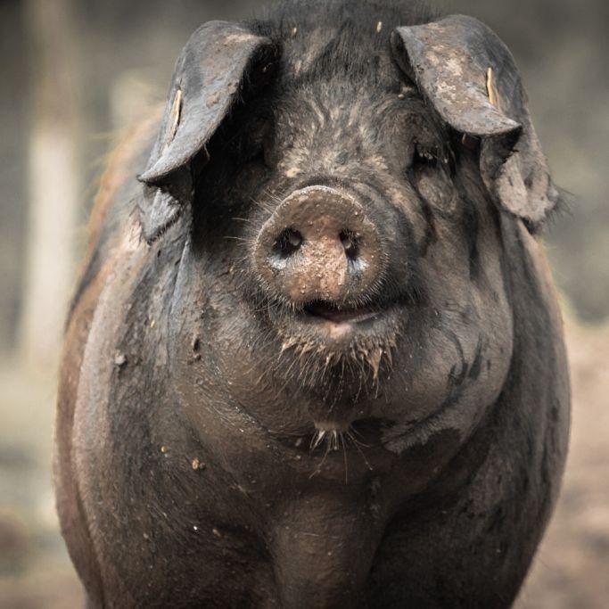 Bauer von eigenen Schweinen gefressen!War es Rache? (Foto)