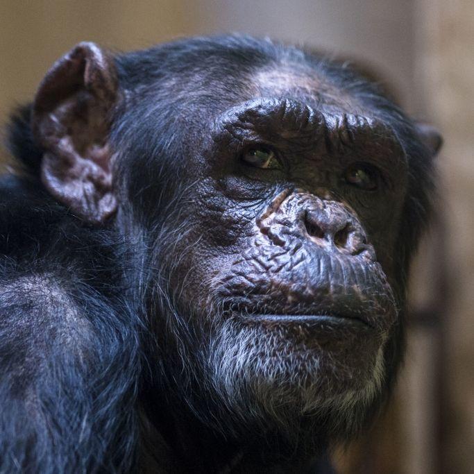 Schimpanse reißt Frau Gesicht und Hände ab (Foto)