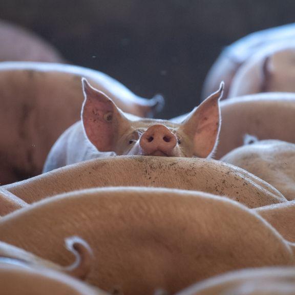 Ist die afrikanische Schweinepest an der Corona-Pandemie schuld? (Foto)