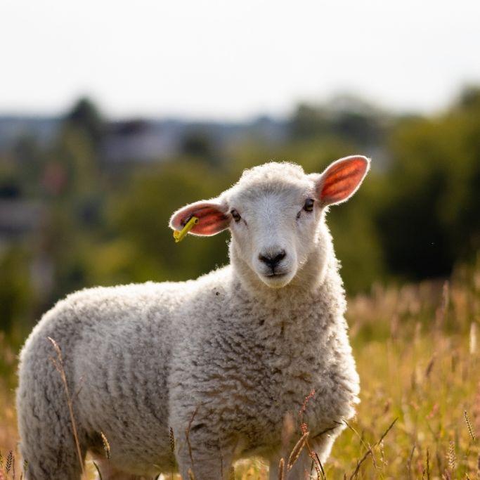 Bein wächst aus dem Kopf! Mutiertes Lamm mit fünf Beinen geboren (Foto)