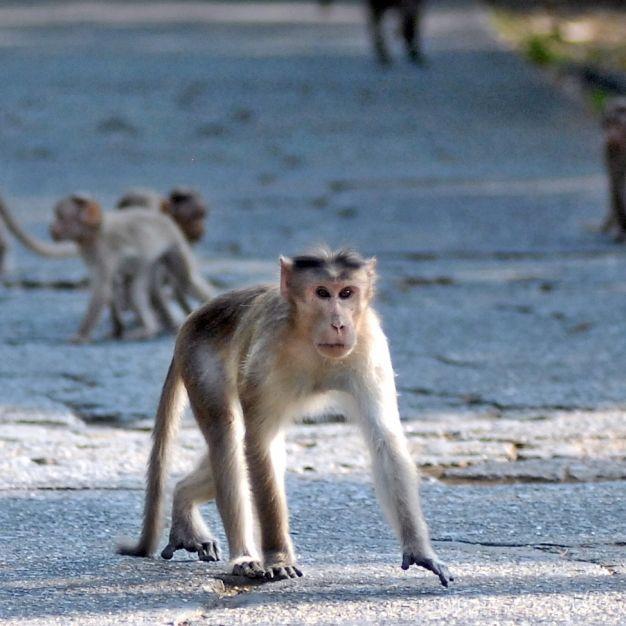 Primat warf Ziegelstein nach ihm! Mann stirbt nach Affen-Attacke (Foto)