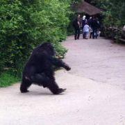 Ab durch die Mitte: Diesem Affen wurde das Zoogehege wohl zu eng.