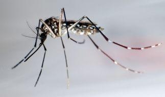 Aedes aegypti: Die Moskito-Art soll für Infektionen mit dem Zika-Virus in bereits 21 südamerikanischen Ländern verantwortlich sein. (Foto)