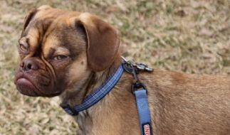 """Als """"Grumpy Dog"""" begeistert Beagle-Mischling Earl das Internet. (Foto)"""