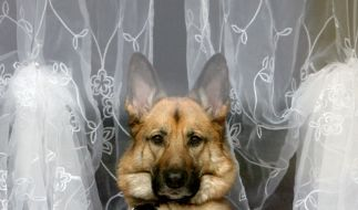 Auch für deutsche Schäferhunde müssen Besitzer vielerorts tiefer in die Tasche greifen. (Foto)