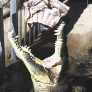Auch Krokodile gönnen sich ab und an einen menschlichen Happen. Gustave, ein Krokodil aus Burundi, hat sich mit geschätzten 300 Menschen in die Champions League der Menschenfresser vorgearbeitet. Alle Versuche, das Tier zu fassen, scheiterten bislang.