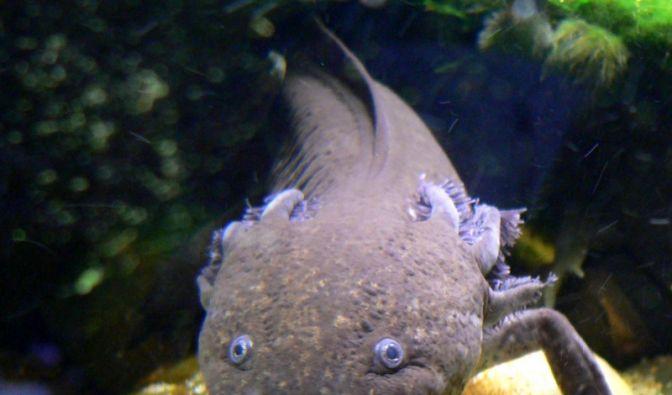 Axolotl (Foto)
