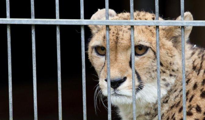 Bellen soll Gepardin heißblütig machen (Foto)