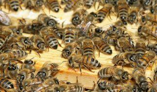 Bienen füttern Kolleginnen mit Honig (Foto)