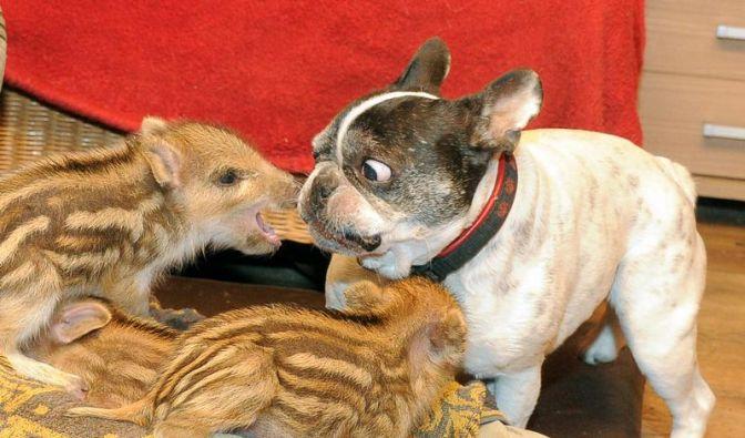 Bulldogge adoptiert sechs Wildschwein-Frischlinge (Foto)