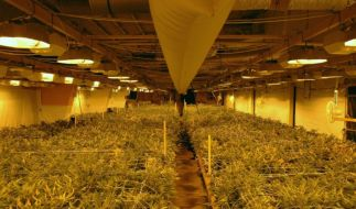 Cannabis-Plantage (Foto)