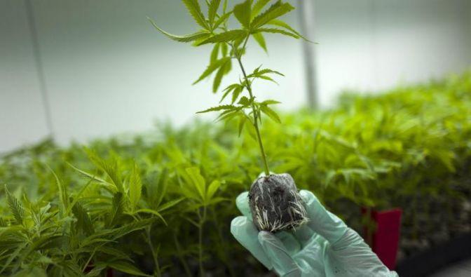 Cannabis soll für medizinische Zwecke legalisiert werden. (Foto)