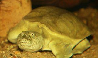 Chinesische Weichschildkröte im Zoo Osnabrück: Diese Art pullert durch den Mund. (Foto)