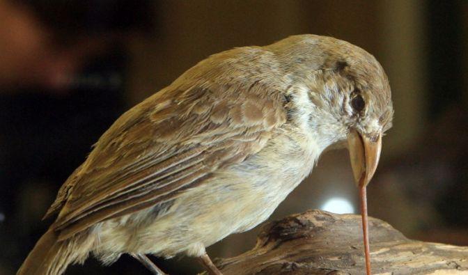 Darwinfinken (Foto)