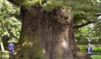 Das ist die älteste noch lebende Eiche Deutschlands: Der Stamm misst 3,49 Meter. Sie steht in Meckle (Foto)