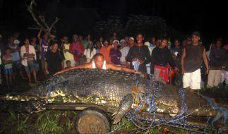 Das gefangene Krokodil «Lolong» in Ketten, die Philippinen im Freudentaumel: 6,17 Meter führten das Riesen-Reptil zum Guiness-Rekord. (Foto)