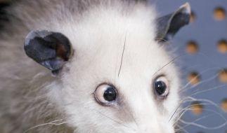 Das Opossum-Weibchen wurde im Mai 2008 geboren und stammt aus dem Zoo Odense in Dänemark. (Foto)