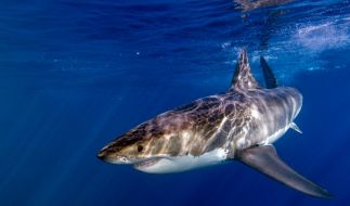 Der Fischer konnte sich durch seine Prügel-Attacke vor dem Hai retten. (Foto)